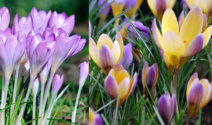 Крокус – луковичное растение. В длину около 10 см. Побегов нет. Цветы самые разнообразные – от кремового до оранжевого. Существуют пятнистые окрасы цветов. Цветет шафран на протяжении 20 дней. Форма цветка схожа с тюльпаном. Тычинки и рыльца полезны в применении. Растение применяется и в приготовлении пищи. Крокусы особо ценятся и выращиваются в больших объемах– Испания. Крокусы любят тепло. Оберегайте их от холода.