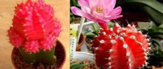 Этот кактус шарообразной формы родом из Южной Америки