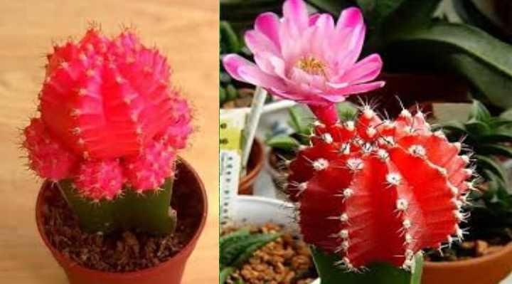 Как называется кактус с красными иголками