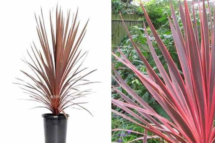 В условиях комнатного выращивания достигает высоты 1-1,5 метров.