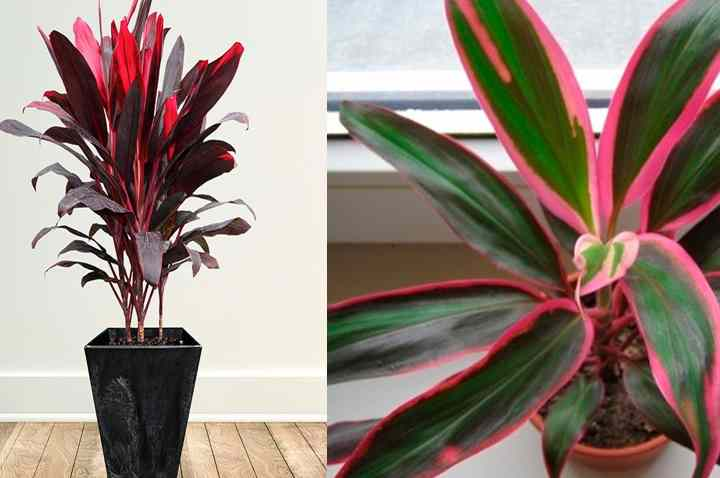 Кордилина - уход и размножение в домашних условиях растения фото видео