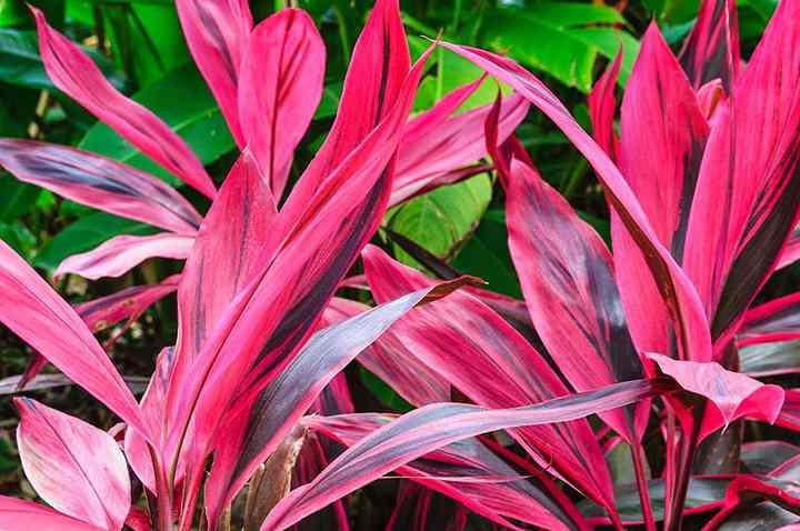 Тропическое, вечнозеленое растение