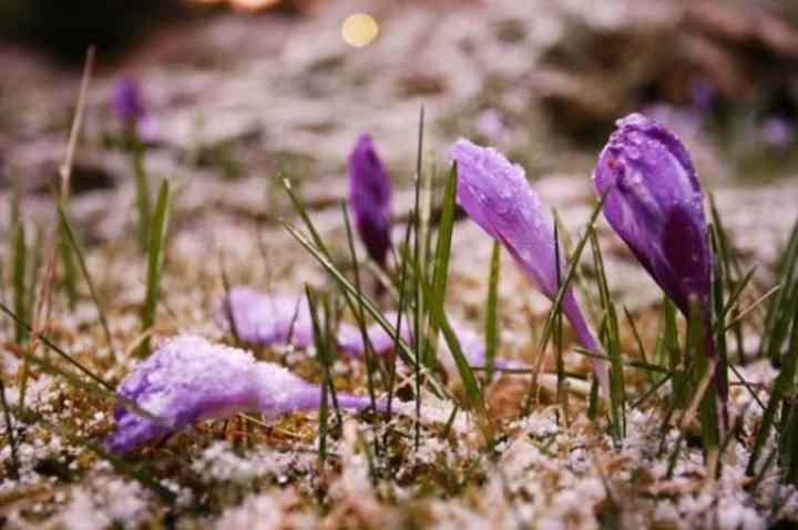 Для гармоничного развития, особенно в период цветения крокусы нуждаются в удобрениях.