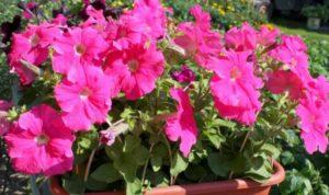 ярко цветущее растение