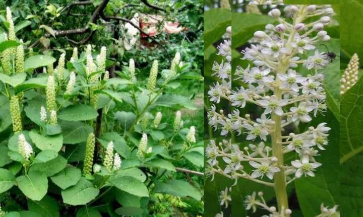 Цветёт лаконос летом