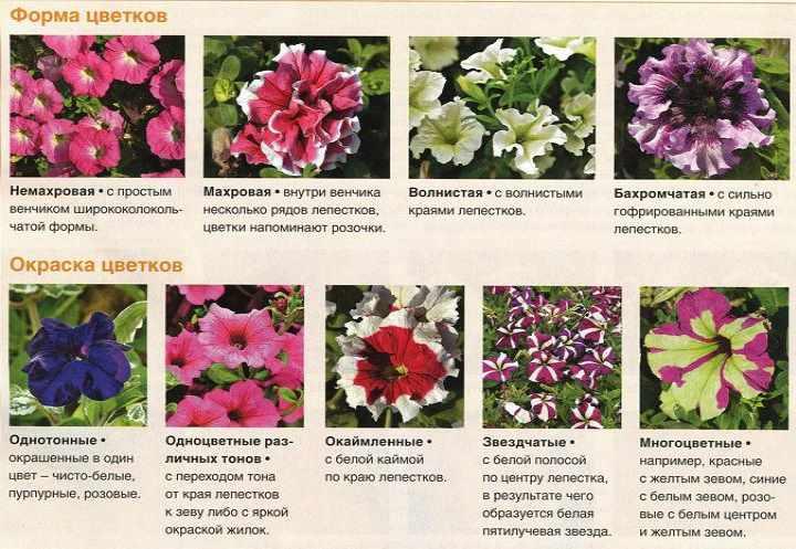 Выращивать петунию начали еще в 17 веке