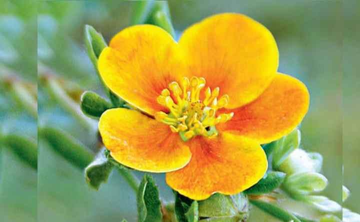 Бутон желтых цветов