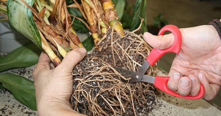 Хамедорея - растение чувствительное к болезням