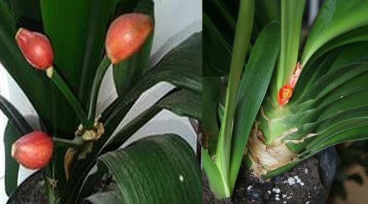 Цветок легко размножается вегетативным методом – маленькими детками кливии