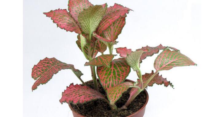 После чего побег отрезают от материнского растения