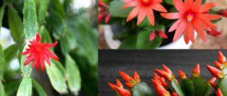 это цветущий лесной кактус