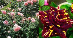 Сорт LaFrance, полученный в далёком 1867 году, стал родоначальником чайно-гибридной розы