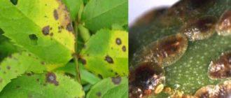 насекомые, представители семейства равнокрылых подотряда кокцид