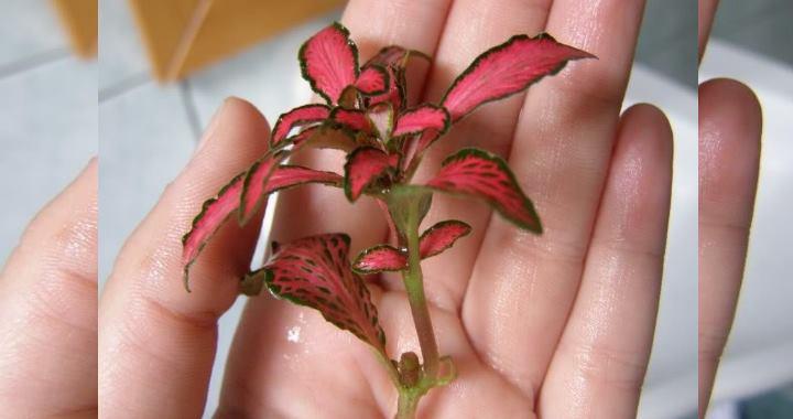 Обновлять старое растение можно обрезкой, выбирая самые старые побеги и срезая их. До следующей обрезки на месте среза должны образоваться молодые листики. Таким образом, за полгода-год можно омолодить фиттонию.