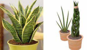 Цветок щучий хвост или сансевиерия: уход, размножение, фото
