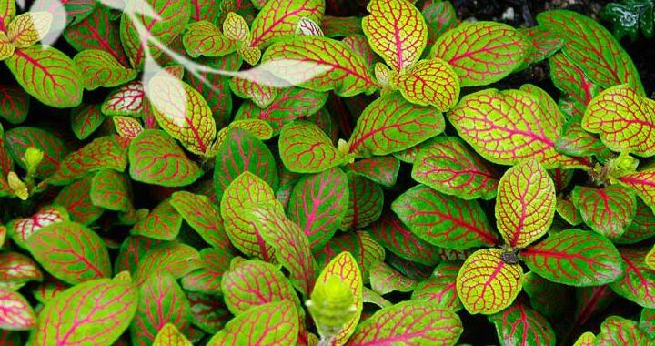 этот вид отличается стелящимися стеблями, покрытыми бархатистыми на ощупь листьями
