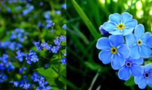 Существует прекрасная традиция в школах, связанная с этим цветком.