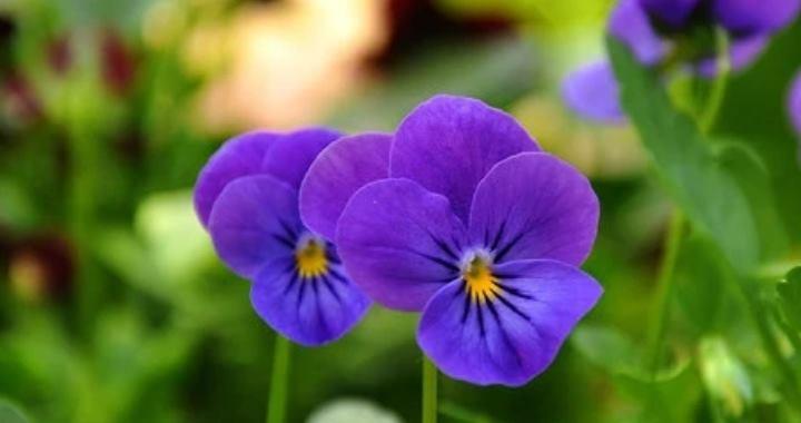 цветочки растения имеют лиловую окраску