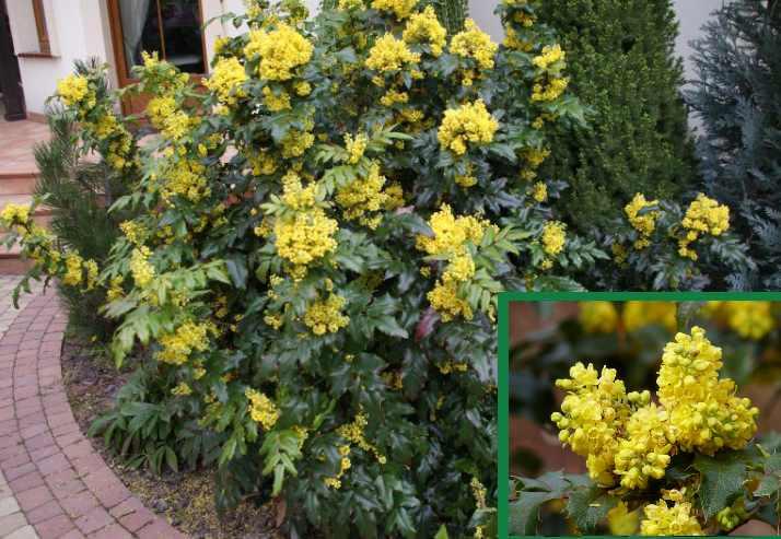 Запах цветов приятный, похож на мед