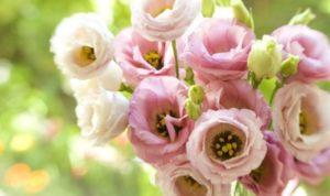цветок из семейства Горечавковых