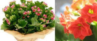 Современные ученные выделяют более 200 видов данного цветка