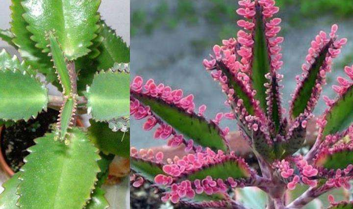 Листья данного растения имеют продолговатую форму
