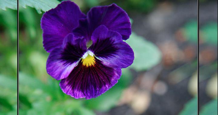 Цветок виола (Viola): посадка, уход и размножение многолетнего растения