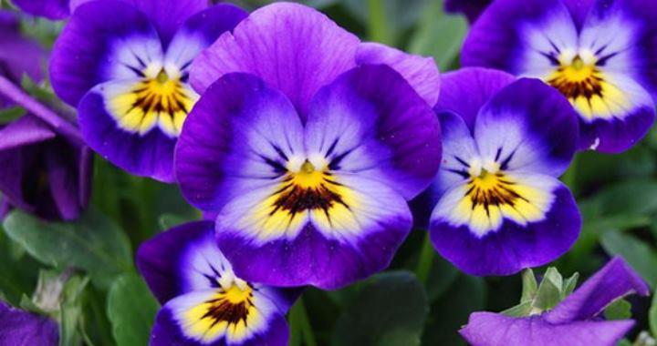 Цветки - достояние виолы