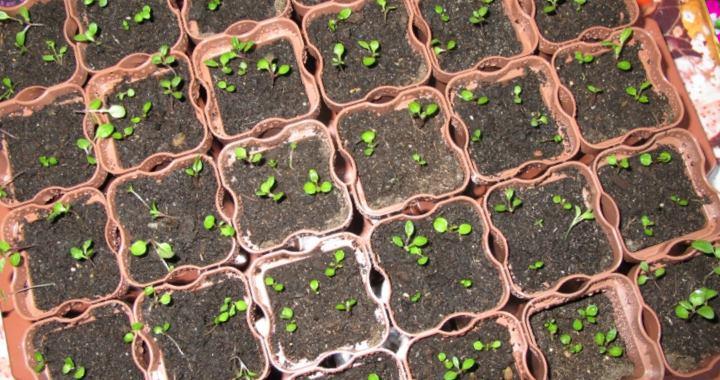 Семя приобретается в специализированном супермаркете