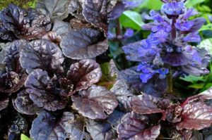 Живучка ползучая или Ajuga reptans (аюга)- растение семейства губоцветных. Оно первым появляется после окончания зимы и схода снежного покрова и зацветает.