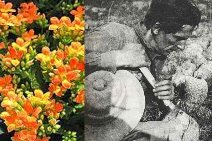 обнаружил это растение около 80 лет назад