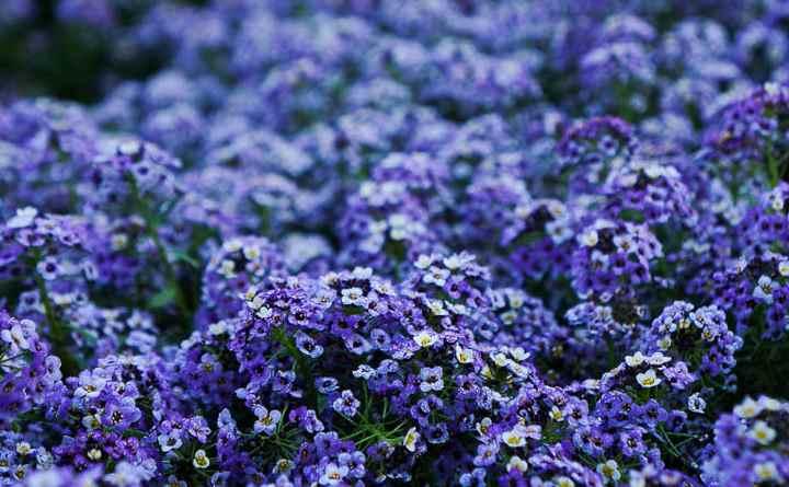 На длинных размашистых стеблях равномерно растут светло-сиреневые ароматные цветочки. Этот сорт легко формируется в округлую форму.