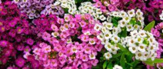 Миниатюрное обильно цветущее растение