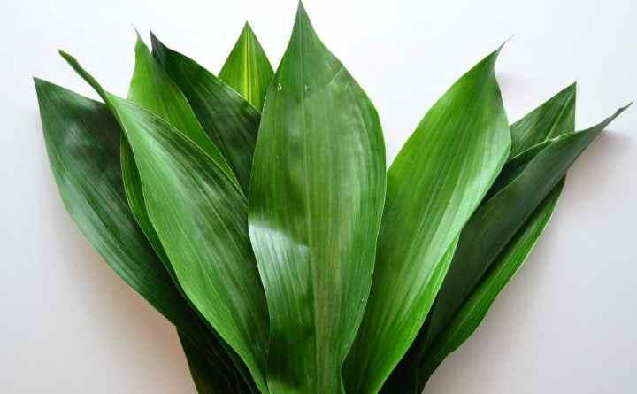 глянцевые зеленые листки
