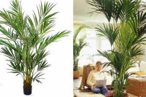Относится к семейству Арековые, виду пальмы.