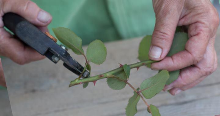 Высадка роз проводится в первые дни мая