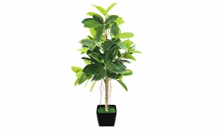 В побегах это растения содержится густой сок, содержащий каучук, который применяют для производства резины. Отсюда и название «резиновое дерево» или «эластика».