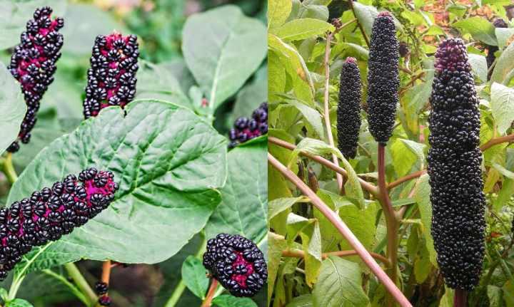 Лаконос – ядовитое растение