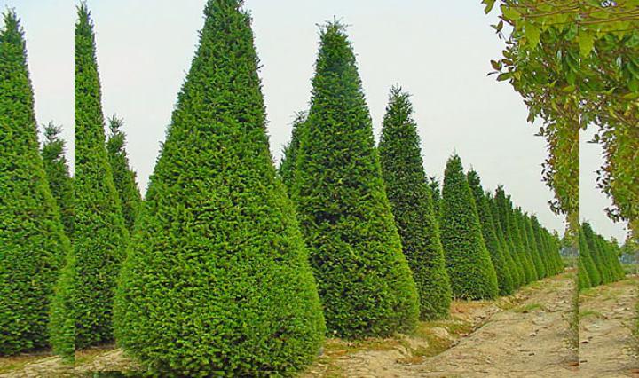 Кашемировый и вечнозеленый