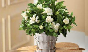 Период цветения гартении около пяти месяцев ( с начала лета, до середины осени).