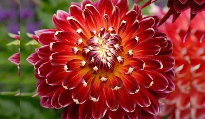 Игольчатые георгины, или кактусовые