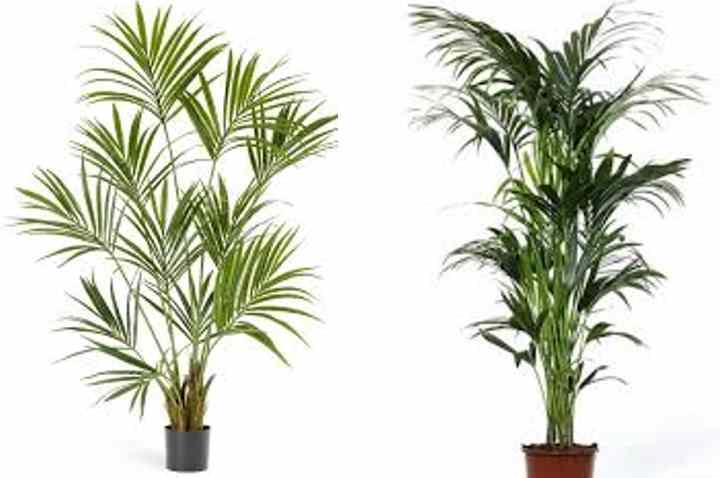 Прорастают сеянцы примерно около 1 года.Когда ростки достигли примерно 5-7 см. в высоту, их можно пересадить в емкость большего диаметра.