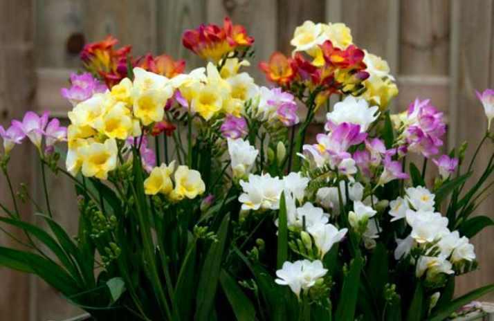 Фрезия станет замечательным украшением вашего сада