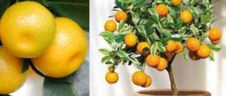 Не стоит покупать растение, если в магазине оно стоит на сквозняке или в очень сухом помещении.