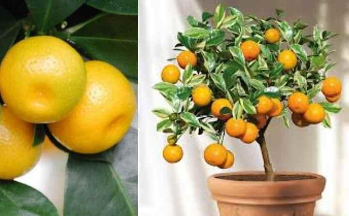 Каламондин: можно ли есть плоды? Полезные свойства каламондина, рецепты. Можно ли есть плоды цитрофортунеллы Каламондин можно ли есть плоды
