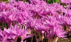 Растение по форме напоминает крокус