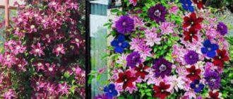 Клематисы влаголюбивые растения