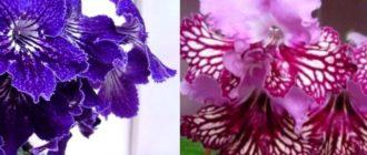 Стрептокарпус – необычное название милого растения