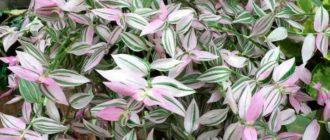 Цветки бывают фиолетового, красного и белого цвета