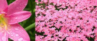 На каждом побеге вырастает один широко открытый цветок звездчатой формы